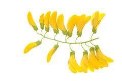 Golden chain. Flower of the golden chain (Laburnum) isolated on white background Royalty Free Stock Images