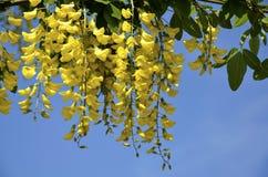 Golden chain tree in flower Stock Image