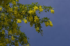 Golden chain tree, laburnum against blue sky  London England Eur Royalty Free Stock Images
