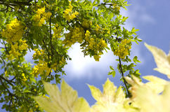 Golden chain tree, laburnum against blue sky  London England Eur Royalty Free Stock Photography