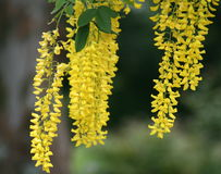 Golden chain tree with long, hanging yellow flower clusters. This picture shows you the flowers of a tree named Laburnum Watereri Vossi (Vossi Golden Chain Tree stock photography