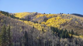 A golden change is coming. Taking in Aspen Colorado the trees are turning gold on this beautiful fall day Royalty Free Stock Photography