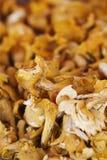 Golden Chanterelle fungus. Background of golden chanterelle fungus, cantharellus cibarius Stock Photo