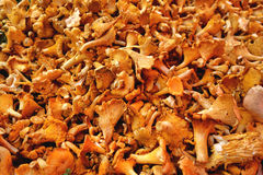 Golden Chanterelle Girolle Mushroom Market Display. Golden chanterelle fungus or girolle mushroom on display for sale loose in a bulk bin at the country farmer Royalty Free Stock Image