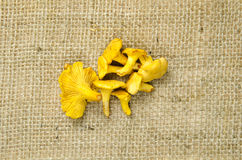 Golden chanterelle at rough surface Royalty Free Stock Image