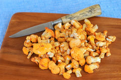 Golden Chanterelle (Yellow mushrooms) Stock Photos