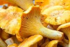 Golden chanterelles Stock Photography