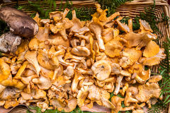 Golden Chanterelles mushroom basket Stock Images