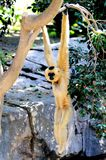 Golden cheek gibbon. Royalty Free Stock Images