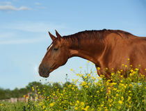Golden chestnut purebred horse Stock Photos