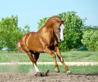 Golden chestnut stallion Royalty Free Stock Image