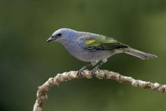 Golden-chevroned tanager, Thraupis ornata, Royalty Free Stock Photo
