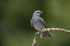 Golden-chevroned tanager, Thraupis ornata, Stock Images