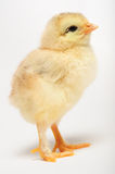 Golden chick Stock Photo