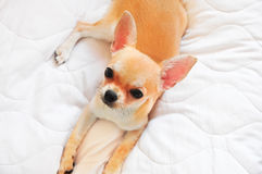 Golden chihuahua Royalty Free Stock Image