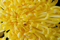 Golden chrysanthemum Stock Images