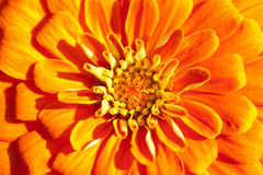 Golden chrysanthemum closeup. Stock Images