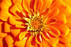 Golden chrysanthemum closeup. Focus on the middle petals Stock Images