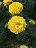 golden chrysanthemum Stock Image