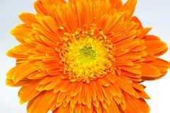 Golden chrysanthemum flower Stock Photography