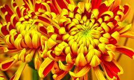 Golden chrysanthemum flowers Stock Images