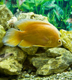 Golden cichlasoma Royalty Free Stock Photo