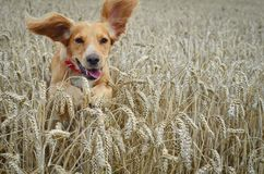 Golden Cocker spaniel dog running through a field of wheat. Royalty Free Stock Photo