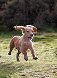 Golden Cocker Spaniel Puppy Stock Photos
