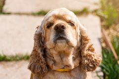 Golden Cocker Spaniel sniffs the air in sunlight stock images