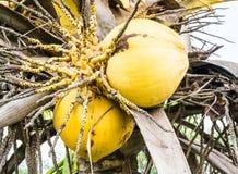 Golden coconut Stock Photos