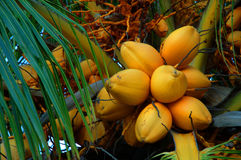 Golden coconuts Royalty Free Stock Photos