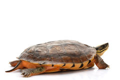 Golden coin box turtle Stock Images
