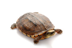 Golden coin box turtle. (Cuora trifasciata) isolated on white background Royalty Free Stock Photos