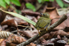 Golden-collared Manakin chick. First failed attempt at flying for this Manakin chick Royalty Free Stock Image
