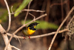 Golden collared manakin known as Manacus vitellinus. In a tree Royalty Free Stock Image