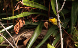 Golden collared manakin known as Manacus vitellinus. In a tree Stock Image