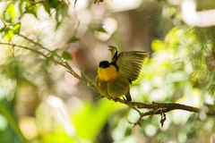 Golden collared manakin known as Manacus vitellinus. In a tree Royalty Free Stock Images