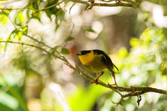 Golden collared manakin known as Manacus vitellinus. In a tree Stock Images