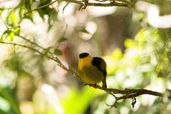 Golden collared manakin known as Manacus vitellinus. In a tree Royalty Free Stock Photos