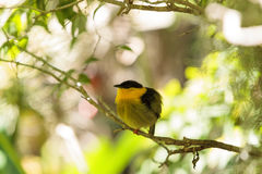 Golden collared manakin known as Manacus vitellinus. In a tree Royalty Free Stock Photo