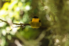 Golden collared manakin known as Manacus vitellinus. In a tree Stock Photos