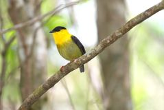 Golden-collared Manakin Manacus vitellinus. Beautiful Golden-collared Manakin male perched on a tree branch showing its vibrant colorful plumage Royalty Free Stock Photos
