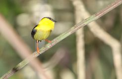 Golden-collared Manakin Manacus vitellinus. Beautiful Golden-collared Manakin male perched on a tree branch showing its vibrant colorful plumage Stock Photography
