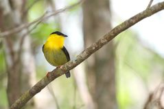 Golden-collared Manakin Manacus vitellinus. Beautiful Golden-collared Manakin male perched on a tree branch showing its vibrant colorful plumage Stock Photos