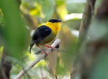 Golden-collared Manakin Manacus vitellinus Panama. Closeup of a small yellow and black tropical bird perching on a branch in rain forest of Panama Royalty Free Stock Photo