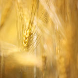 Golden color blurred abstract wheat details background Stock Images