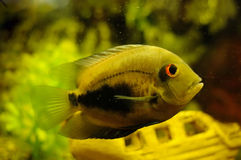 Golden color fish in aquarium Stock Photo
