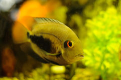 Golden color fish in aquarium Royalty Free Stock Photography