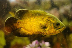 Golden color fish in aquarium Royalty Free Stock Photos