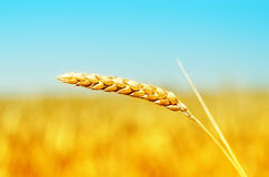 Golden color harvest on field Royalty Free Stock Photography